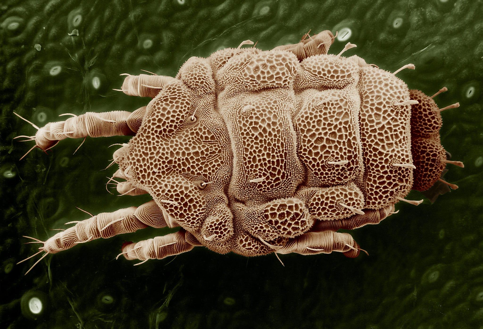 Est-ce que les acariens sont dangereux ?